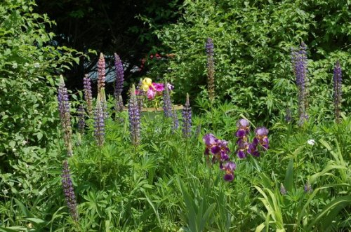 Lupine, irises and urn